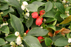 Bjergthe - Gaultheria proc. 'Red Baron'