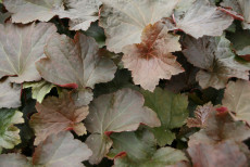Alunrod - Heuchera americana 'Palace Purple'
